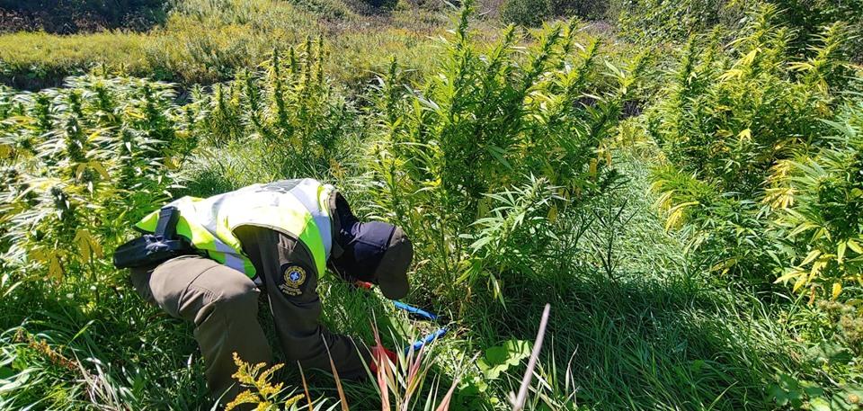 Cannabis: vaste opération policière en cours